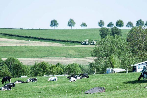 koeien op camping